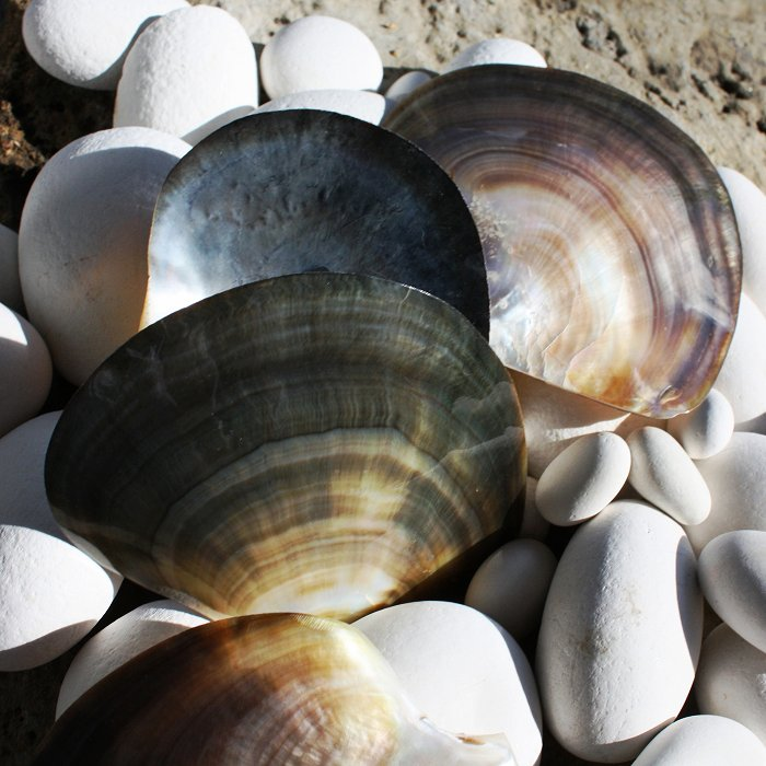 Black Lipped Pearl Oyster   Polished Shells   Mother of ...