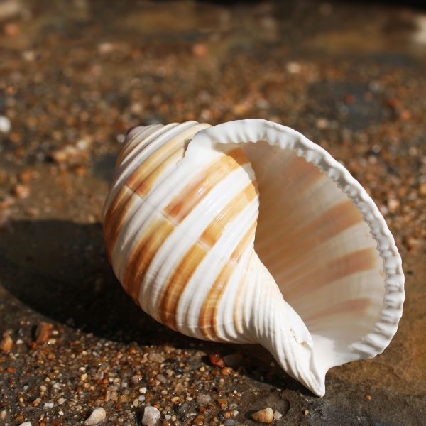 Banded Tun Shell | Shells | Seashells | Beach shells