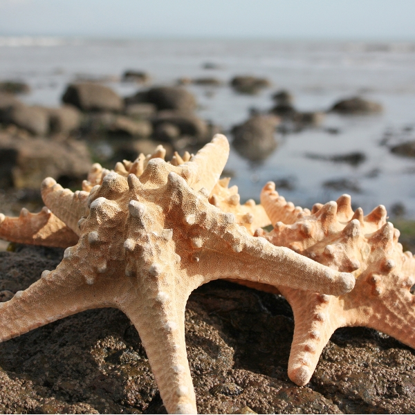 Giant Knobbly Starfish