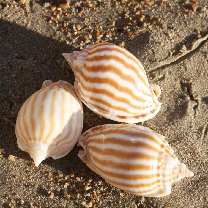 Striped Bonnet Shell | Phalium Strigatum | Beach Shells
